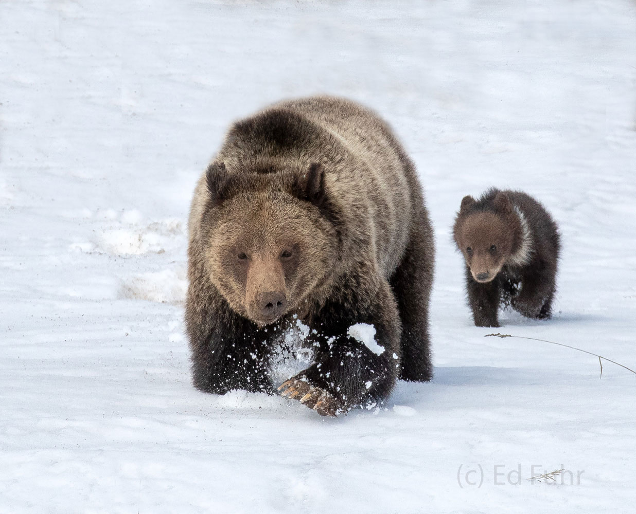 With immense claws and power, grizzly Pepper plows through the snow, as her cub Pepper rallies from behind.