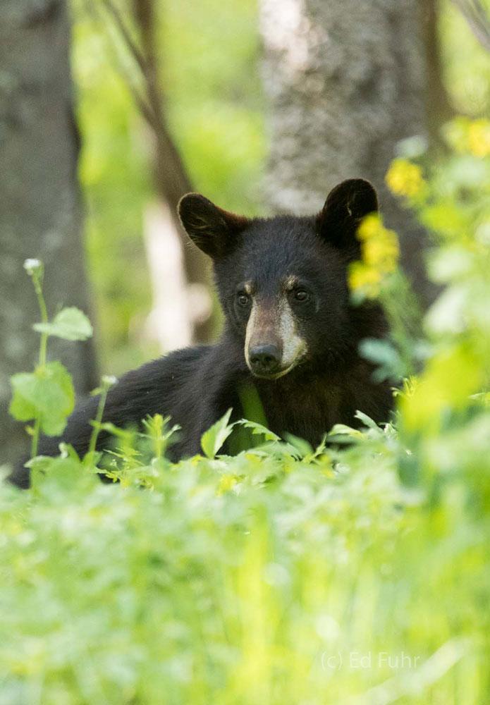 Shenandoah, Shenandoah National Park, photo, photography, images, mountains, wilderness, Virginia, wildlife, bear, photo