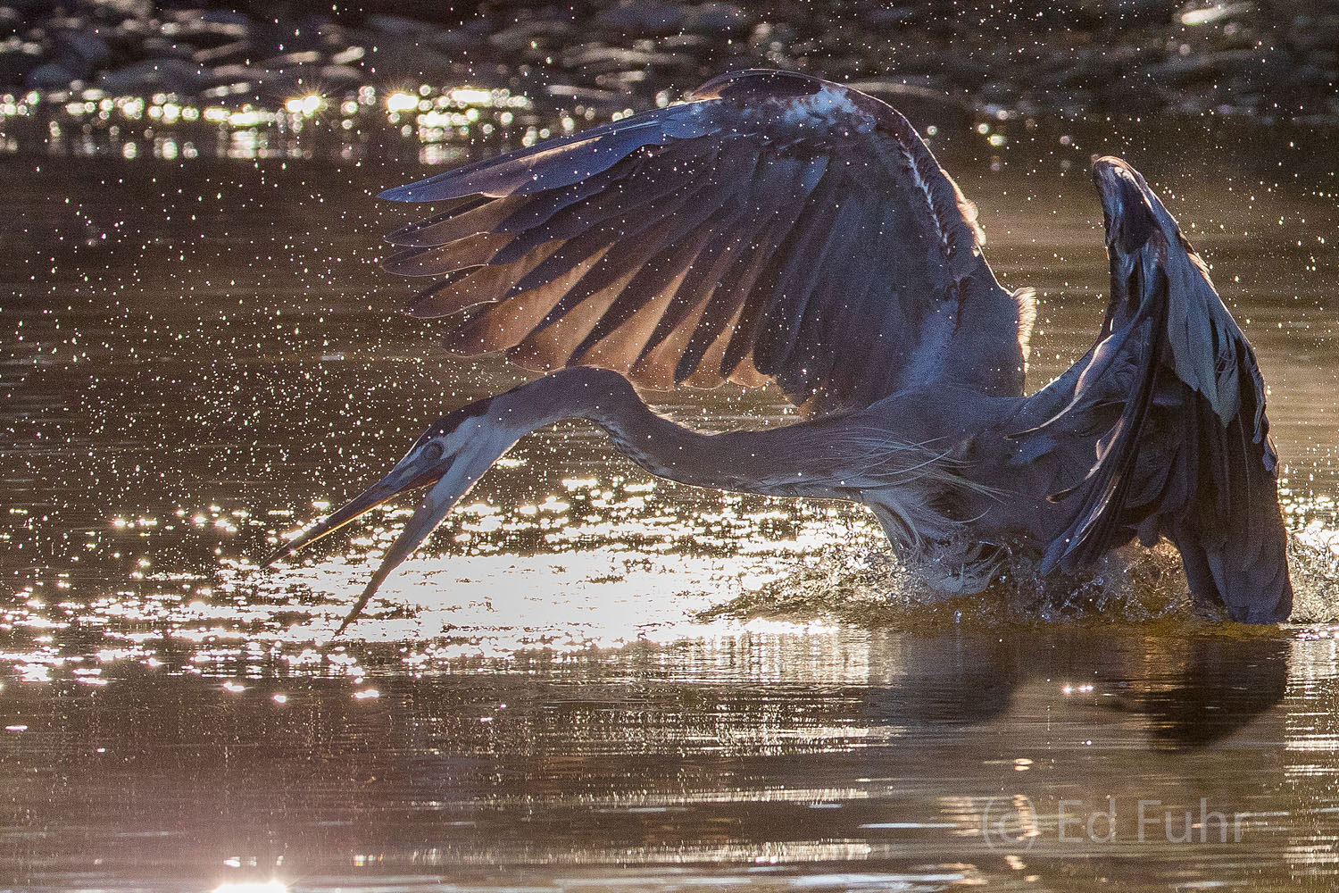 Great blue herons are ferocious birds, capable of eating dozens of fish per day, piercing them at time and swallowing them whole...