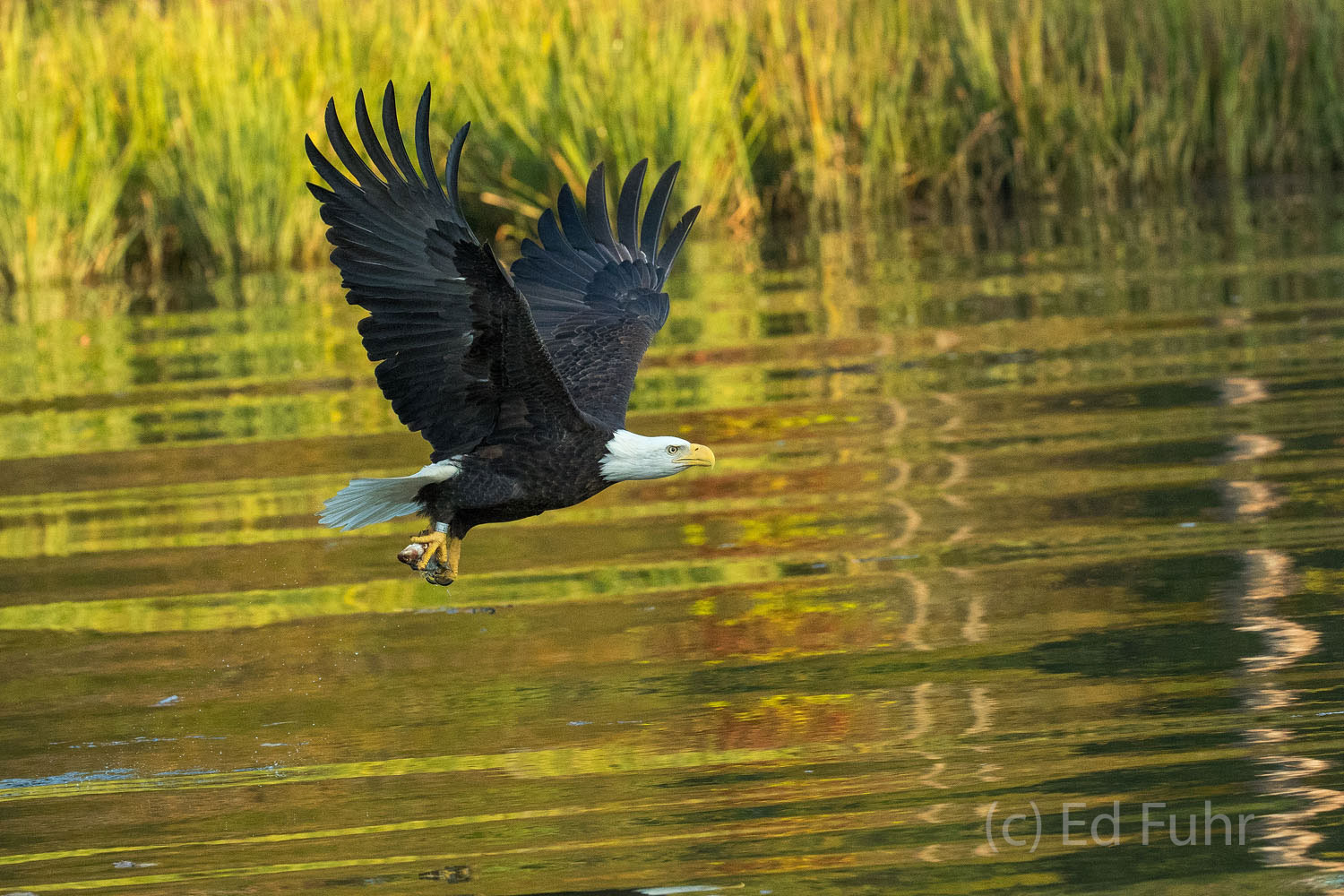 Nicknamed Bandit, a bald eagle flies with its catch across the autumn-colored waters of the James River.