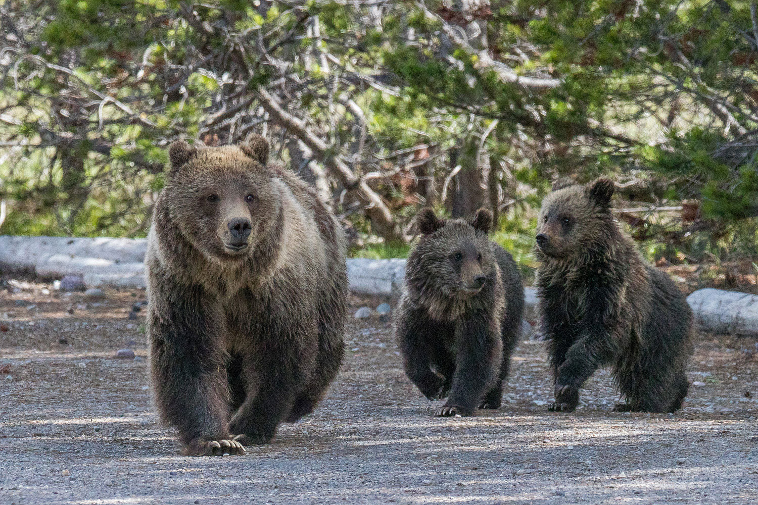 Grizzly bear Blondie leads her two subadult cubs from a nearby corral.