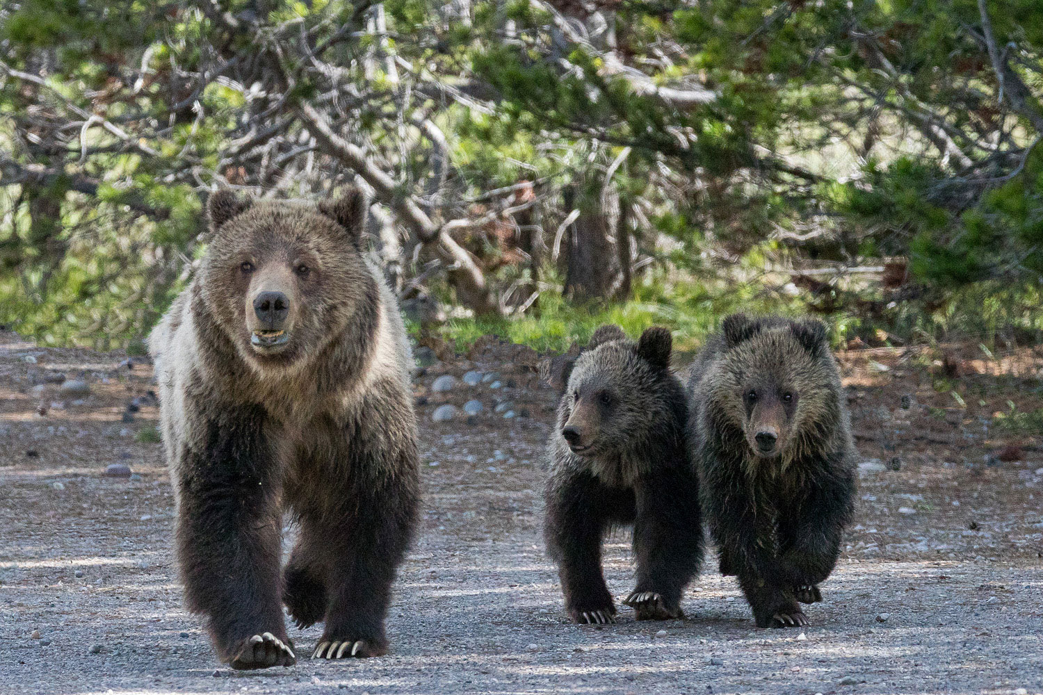 As I watch the grizzly bear Blondie and her two cubs meander toward me I am struck.  There is only me and a ranger in this remote...