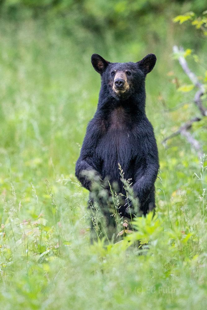 black bear, standing, cades cove, photo