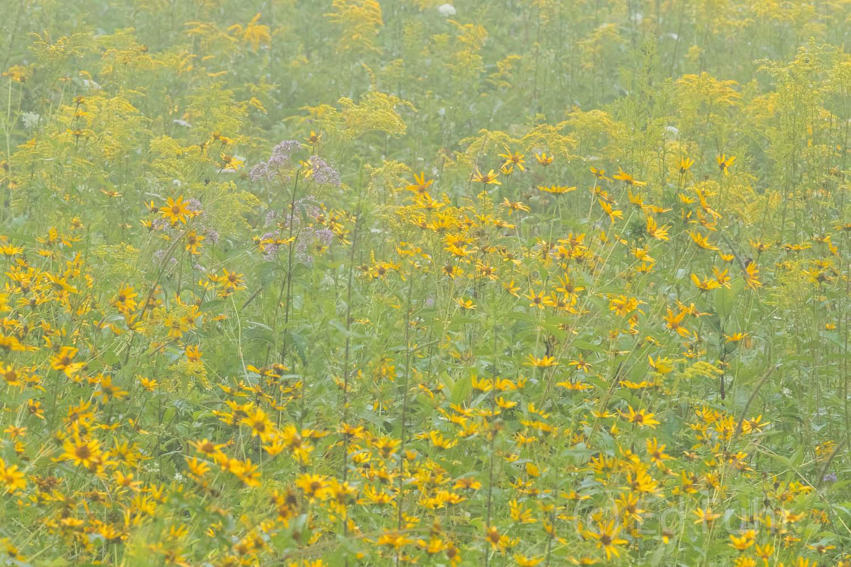A soft fog blankets Big Meadows' wildflowers.