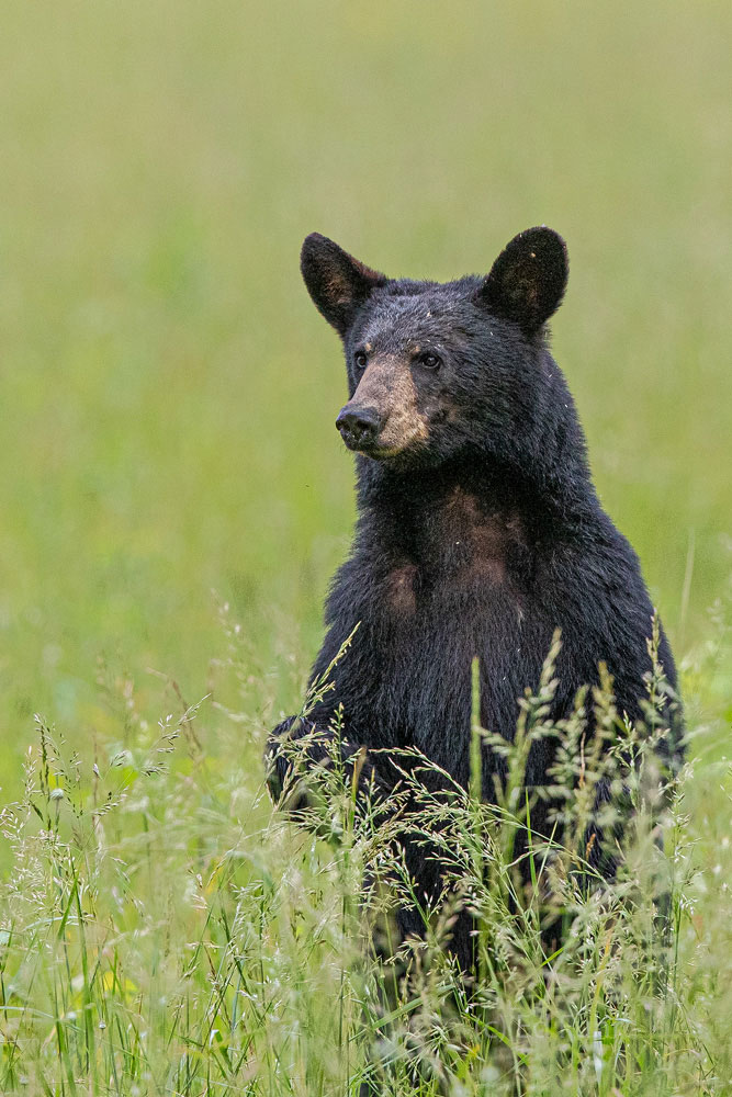 A black bear stands for a better view above the growing grasses in Cades Cove.