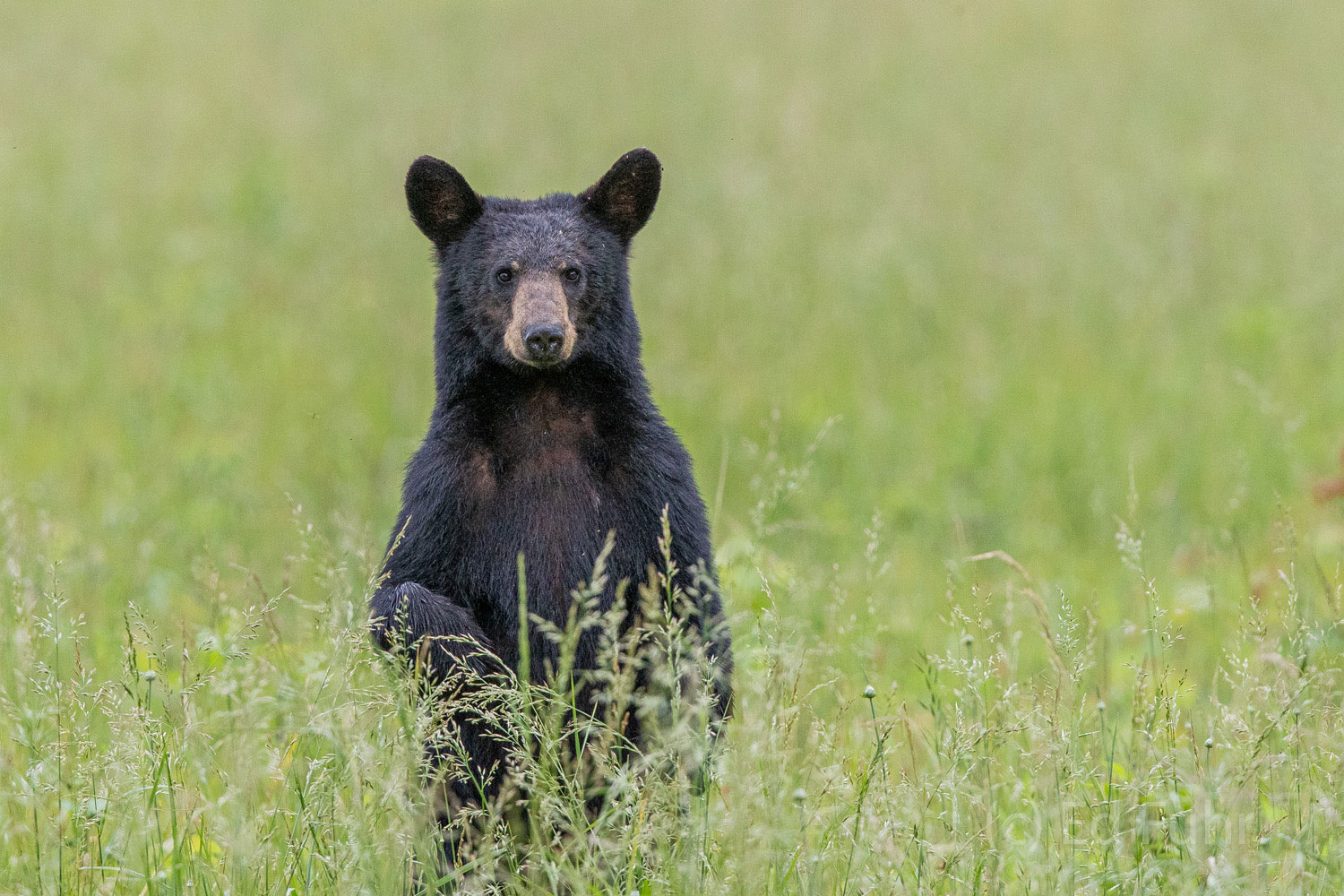 black bear, cades cove,  spring    , photo