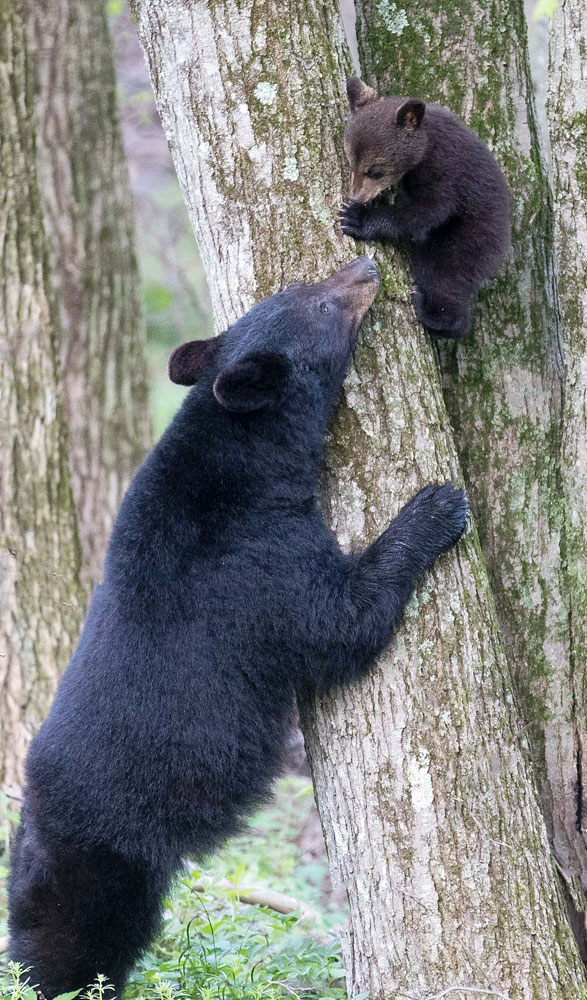 A black bear sow greets her cub at the base of a large oak tree where the cub has been napping.
