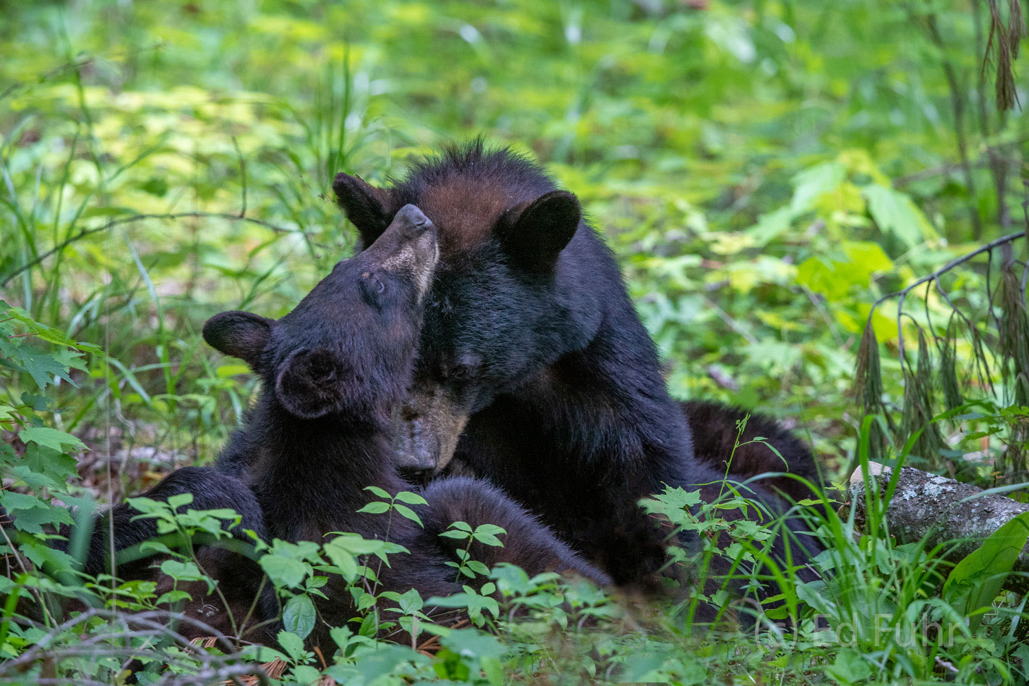 black bear family, cades cove, cubs, photo