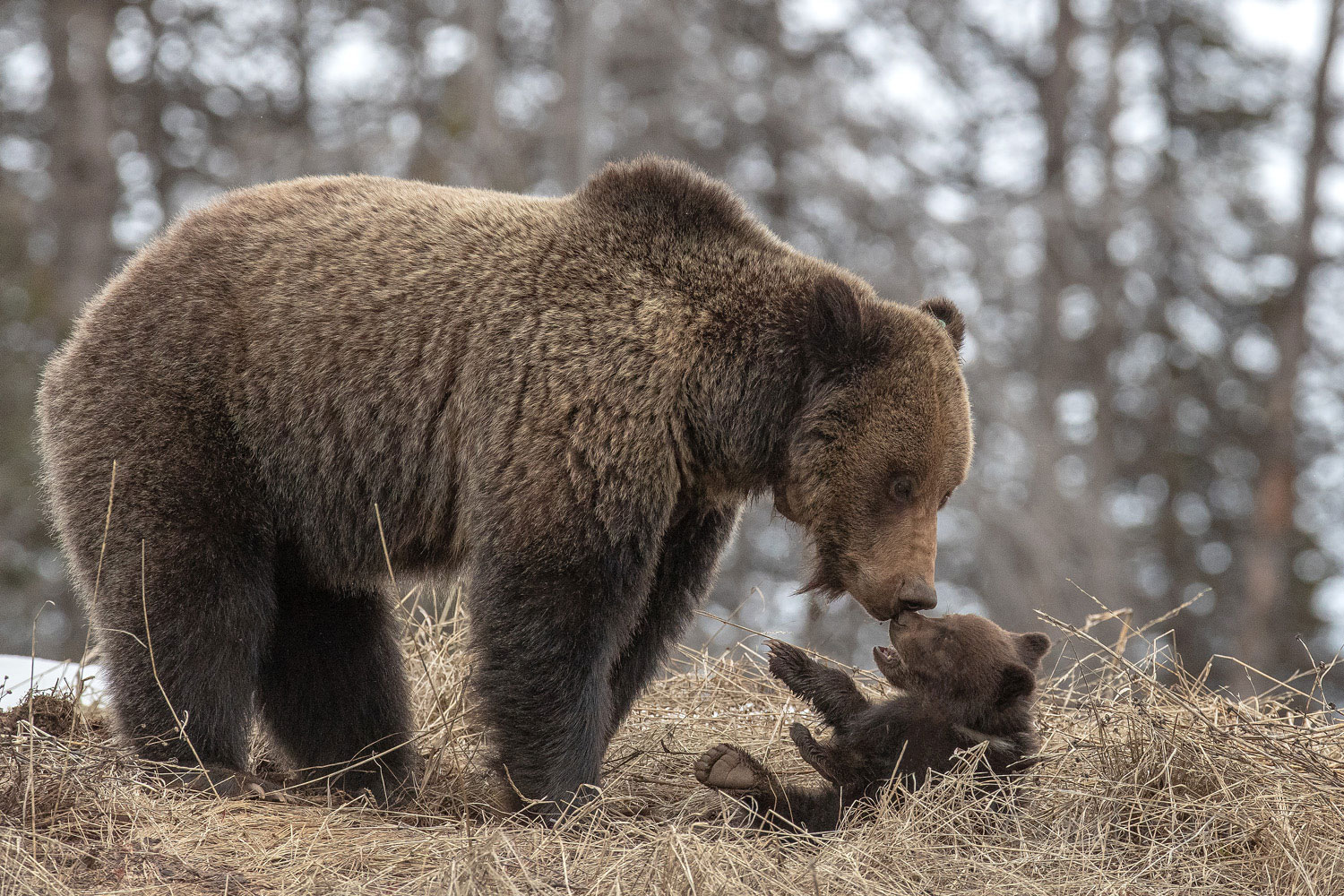 Grizzly Tenderness.  Felicia gives some tender loving to her cub, Felicia.