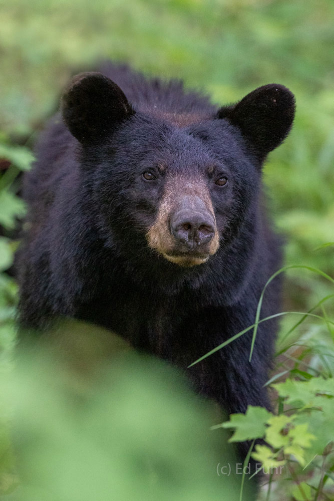 black bear cub, cades cove, spring , photo