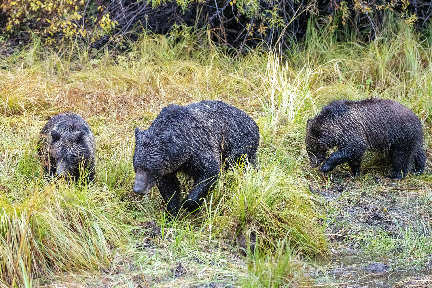 grizzly, bear, blondie, cubs, autumn, photo