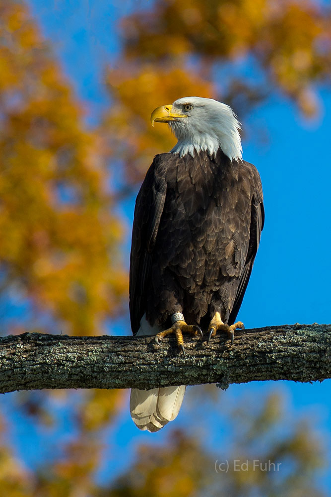 james river, bald eagle, virginia, bird, wildlife, photograph, image,, photo