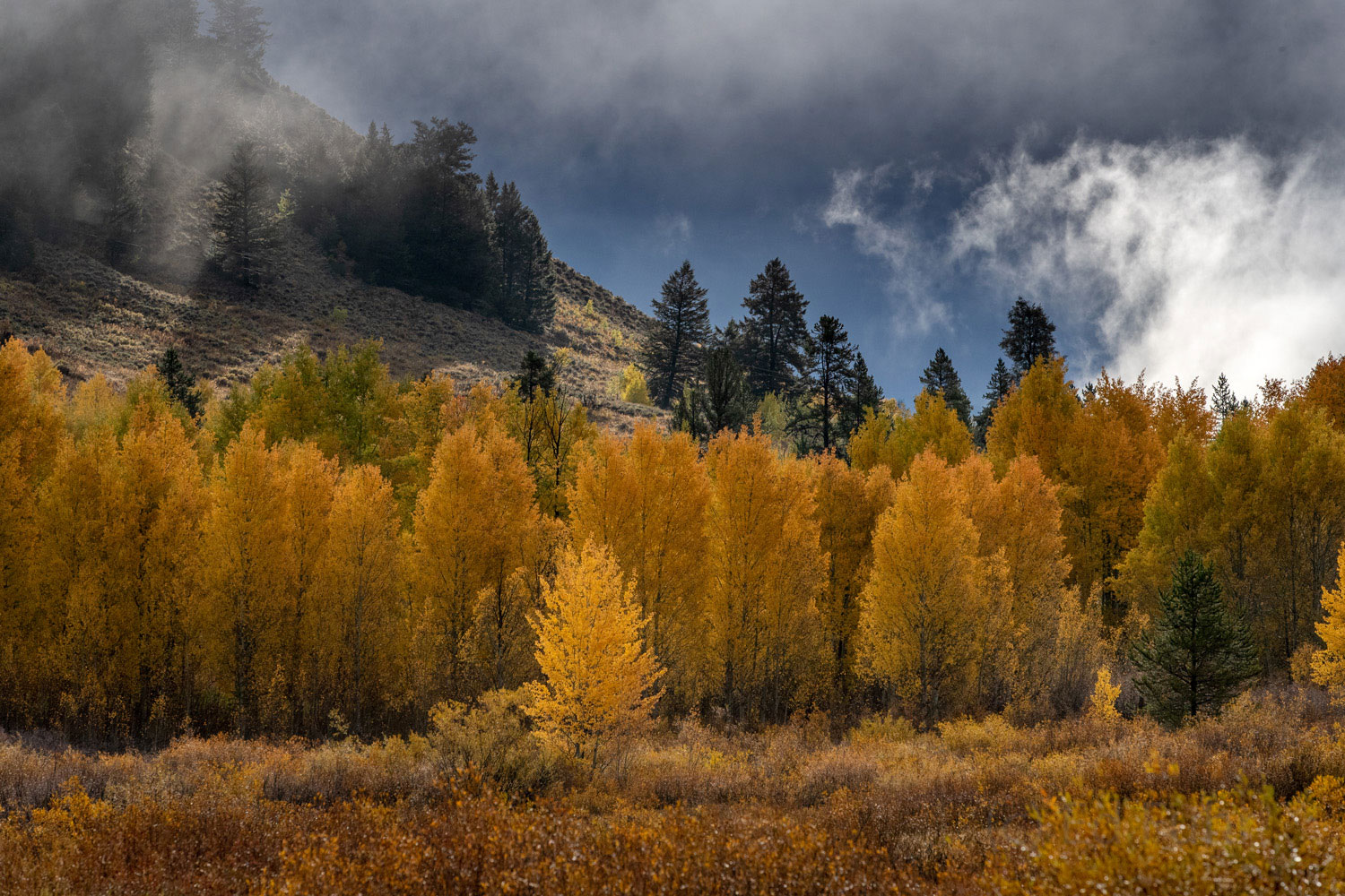 A winter storm gathers force just beyond the ridge where these aspen give final hold to their golden treasure.