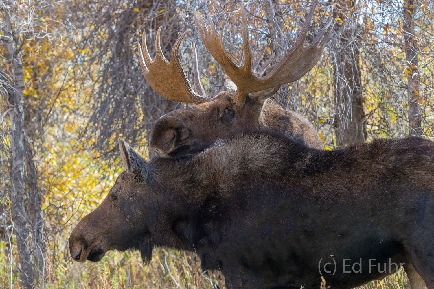 A young male nuzzles a female cow moose below a canopy of cottonwoods.