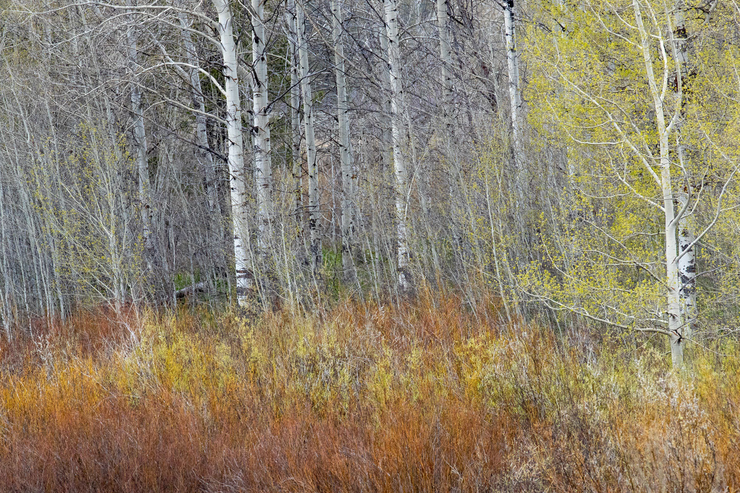 Red willow shoots emerge in the marsh shore by an aspen grove.