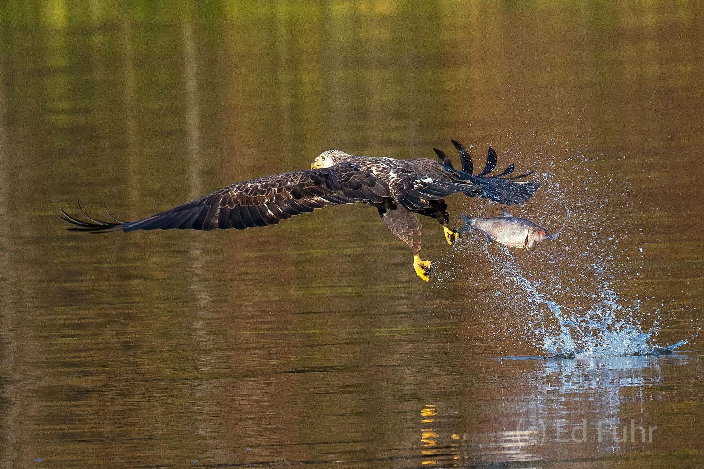 james river, bald eagle, virginia, bird, wildlife, photograph, image,, photo
