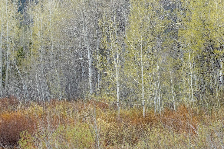 abstract, spring, trees, aspen, impression, Tetons, Grand Teton, photo