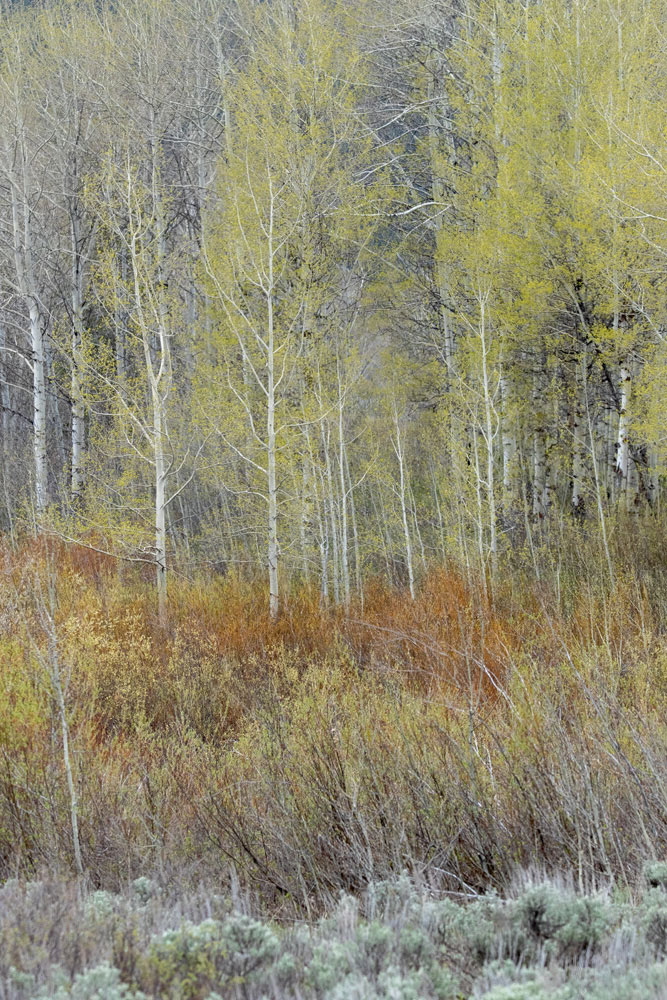 abstract, spring, trees, aspen, impression, Tetons, Grand Teton, photo