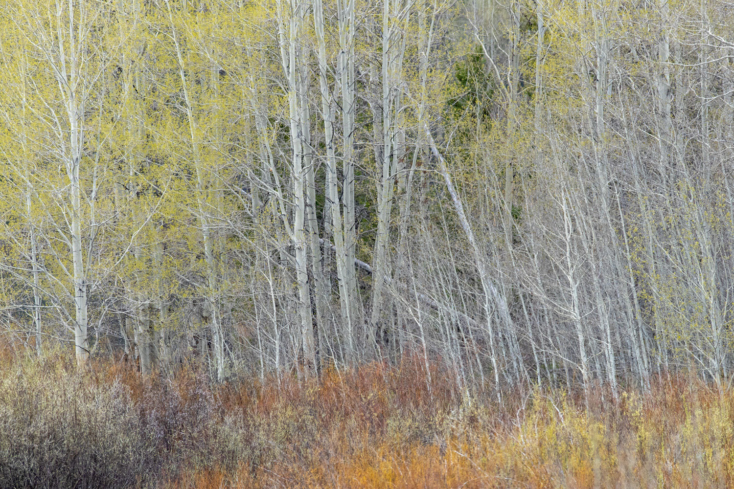 abstract, spring, trees, aspen, impression, photo