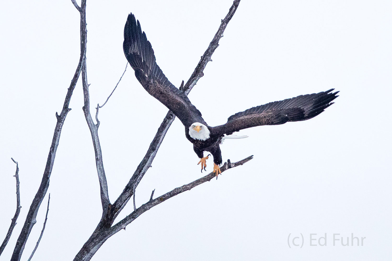 A bald eagle springs to flight from this dead cottonwood from which he had been perched surveying the landscape for food.
