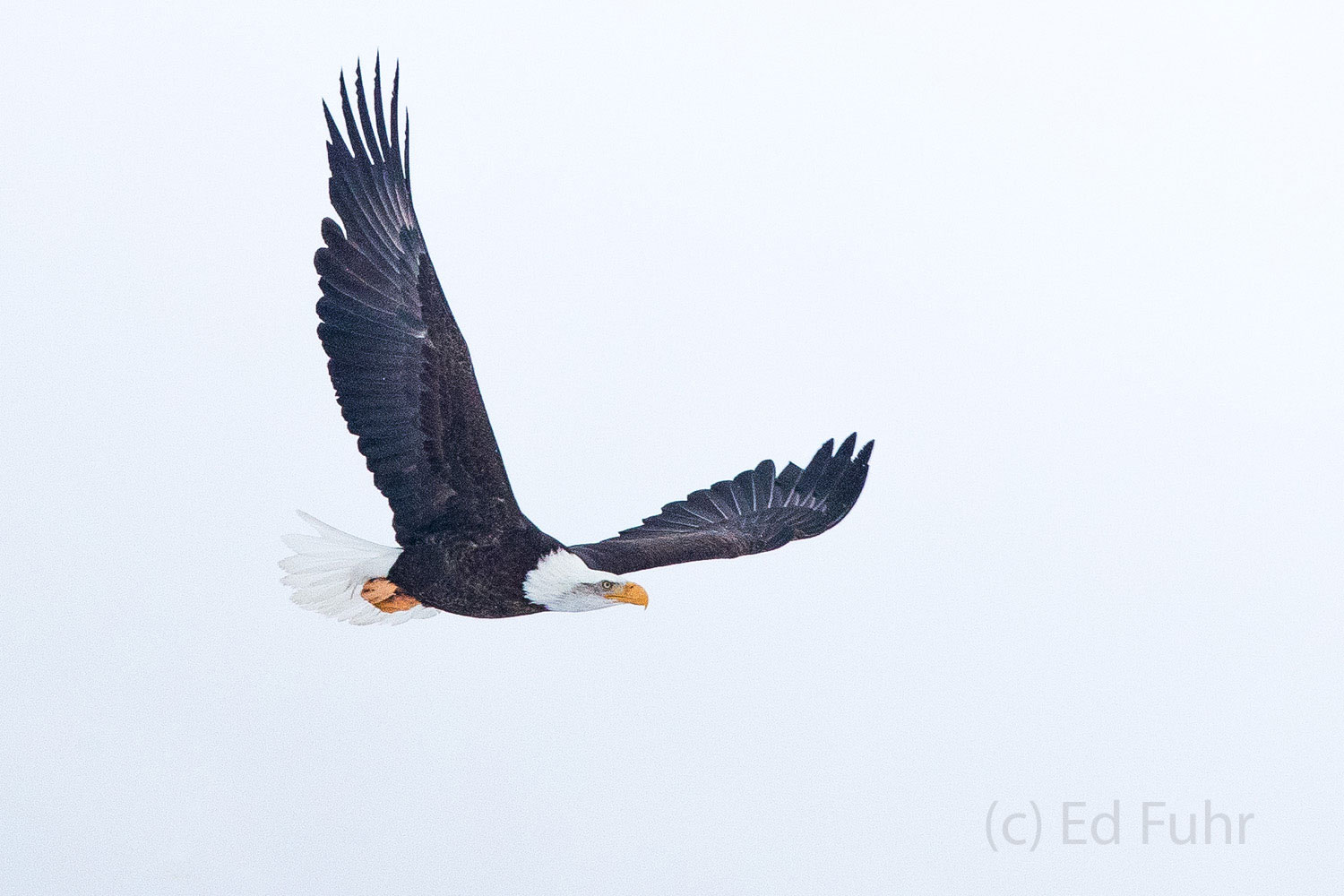 After hours of waiting, this eagle soars toward the Gros Ventre river where he might have better luck finding prey or a carcass...