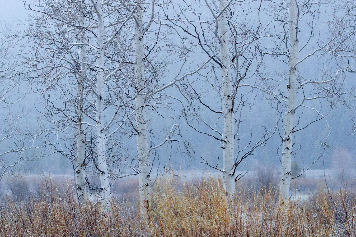 A light snow begins to fall in the meadow behind these aspen.