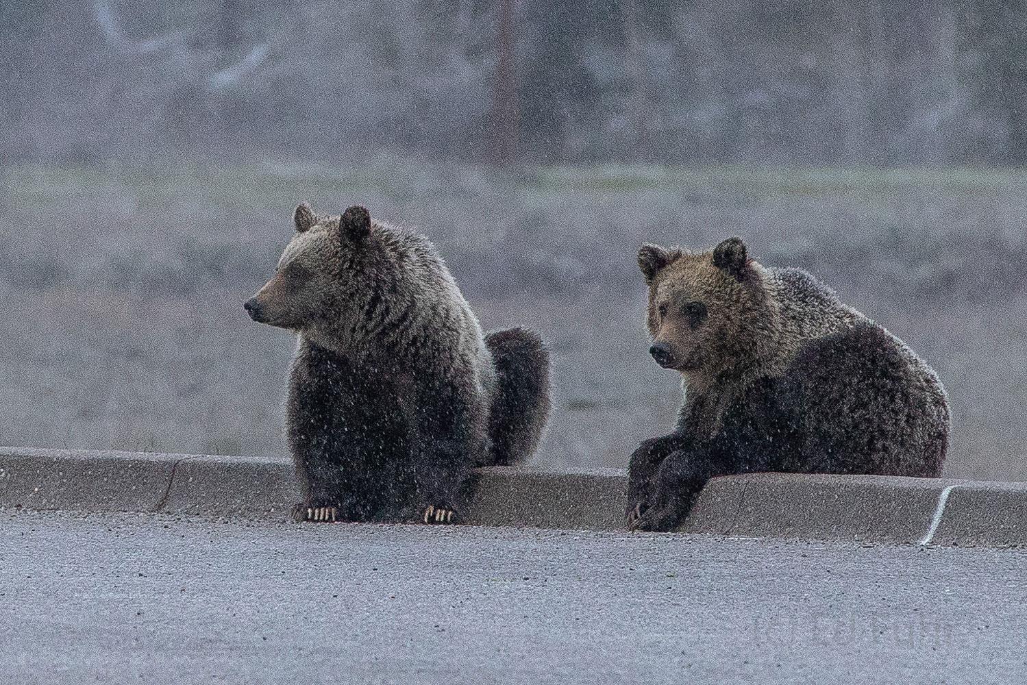 Blondie, Subadult, cubs, 2019, grizzly, bear, Tetons, Grand Teton, photo