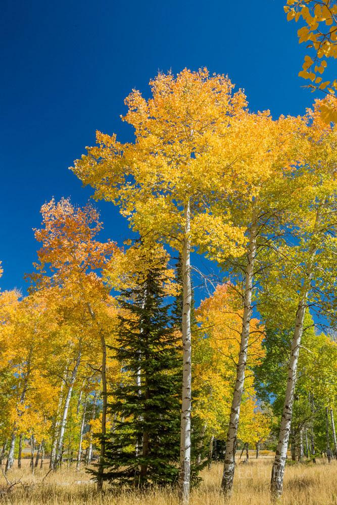 A Pine Among Aspen