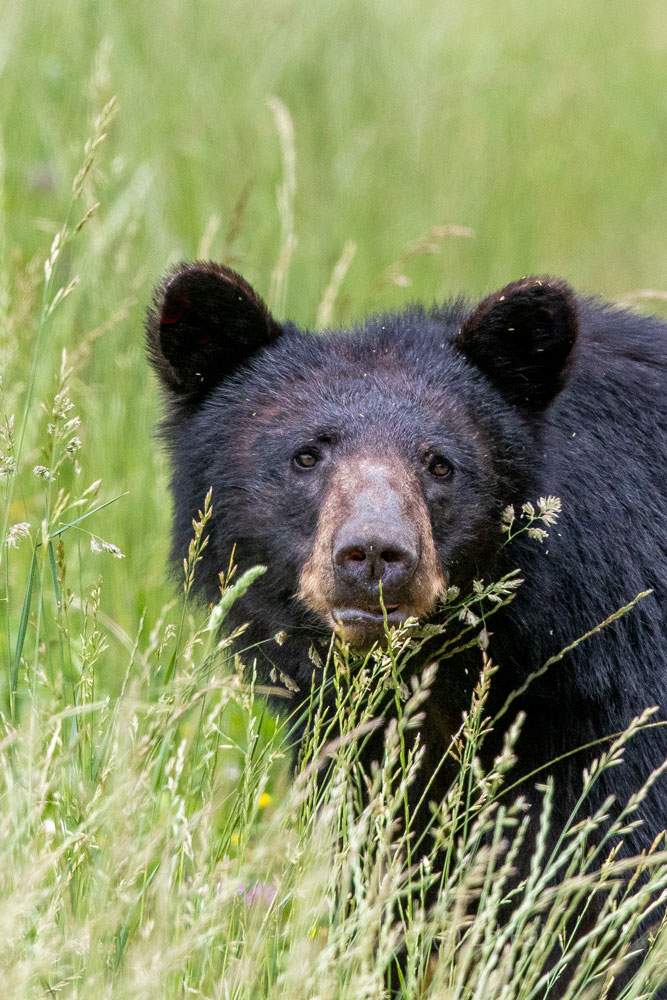 A black bear chews on grasses and flowers near one of the old homesteads that dot Cades Cove.