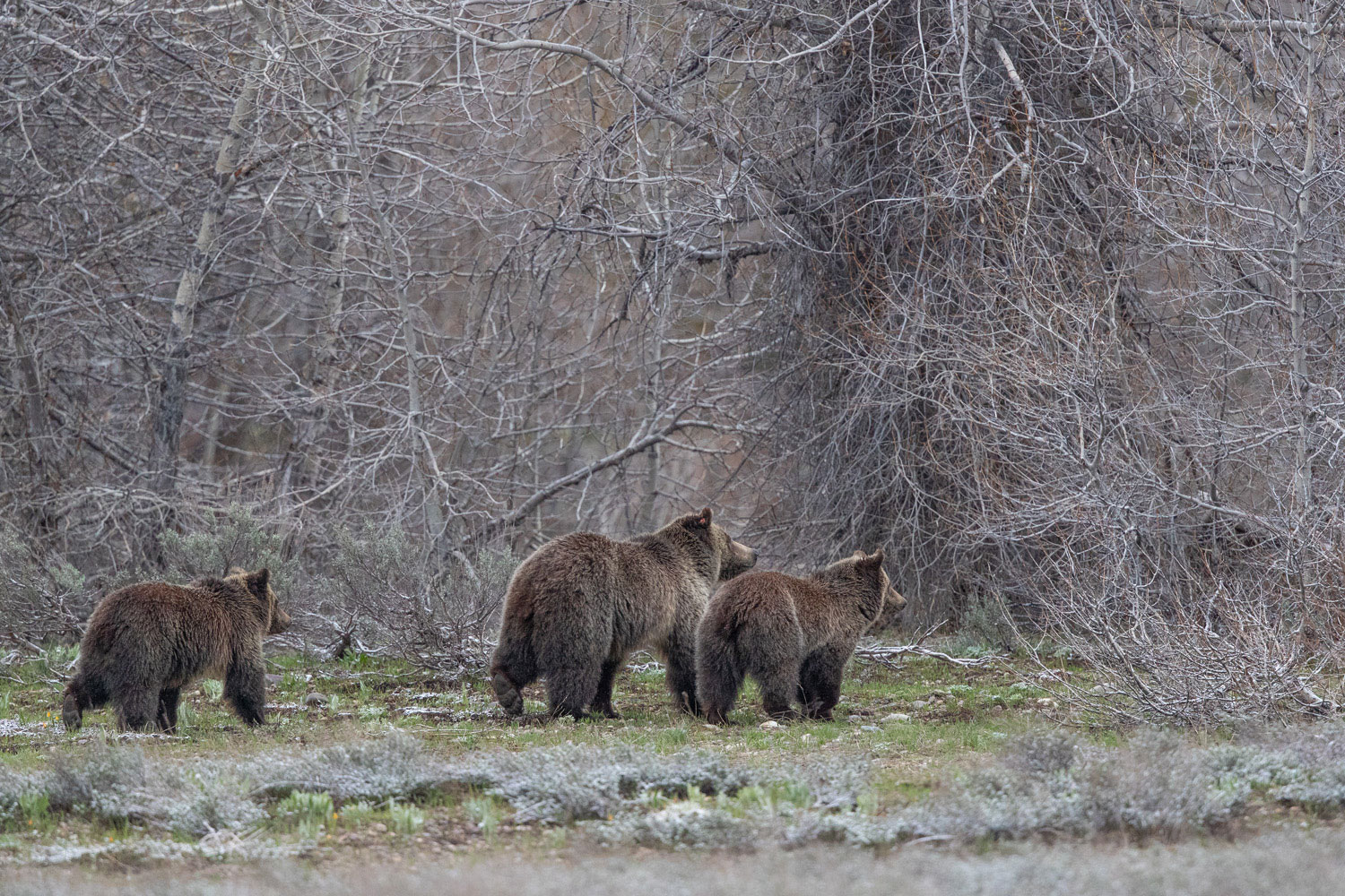 Blondie and her two subadult cubs head to the thicket in the gently falling snow.  These cubs have been with her for two years...