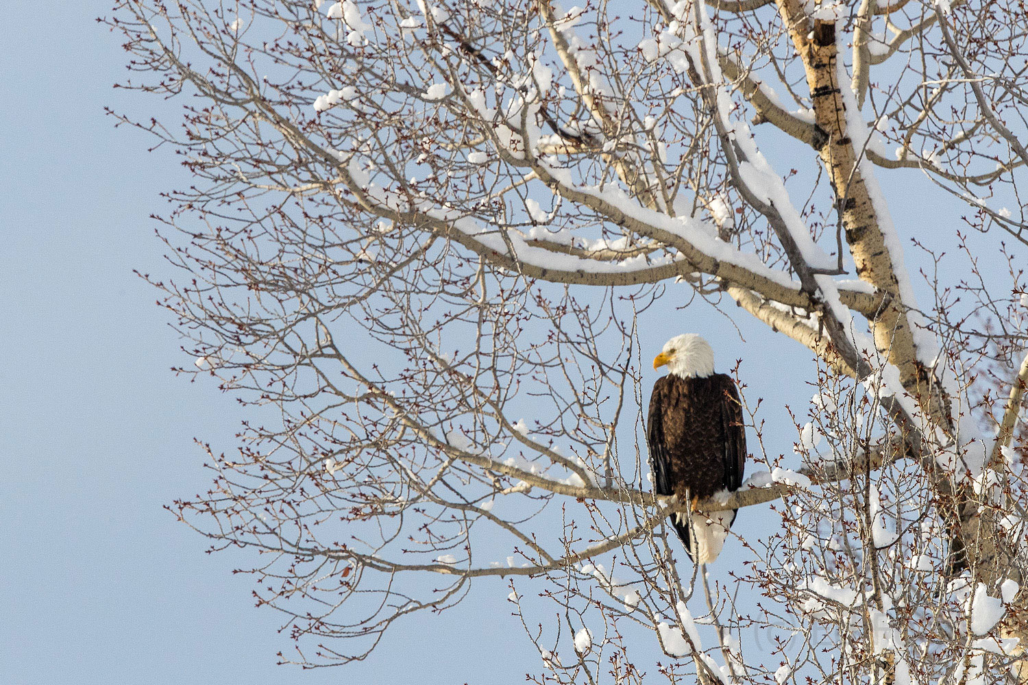 A bald eagle sits on a snow-covered branch of a cottonwood along the banks of the Gros Ventre river.
