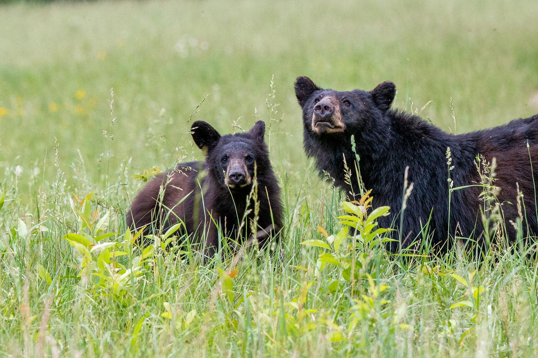black bears, cub, cades cove , photo
