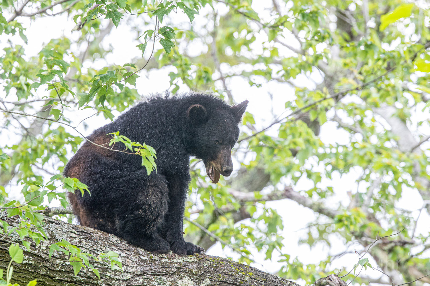After awaking, this black bear mom slowly stretches, yawns and seems to orient herself. In reality, she is keenly aware of everything...
