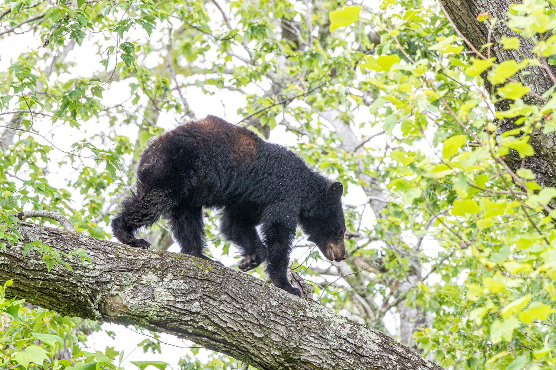 black bear, tree, cades cove , photo