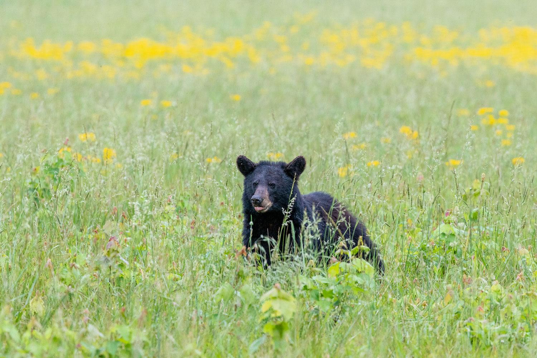 black bear, cades cove, photo