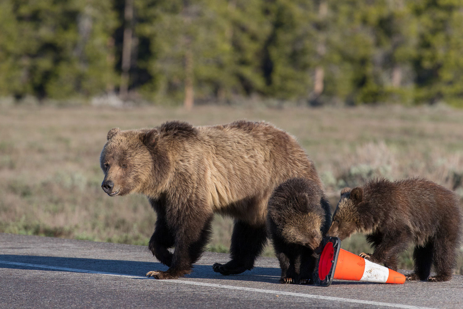 blondie, grizzly, bear, cub, grand teton, photo, image, spring, 2018, Tetons, photo
