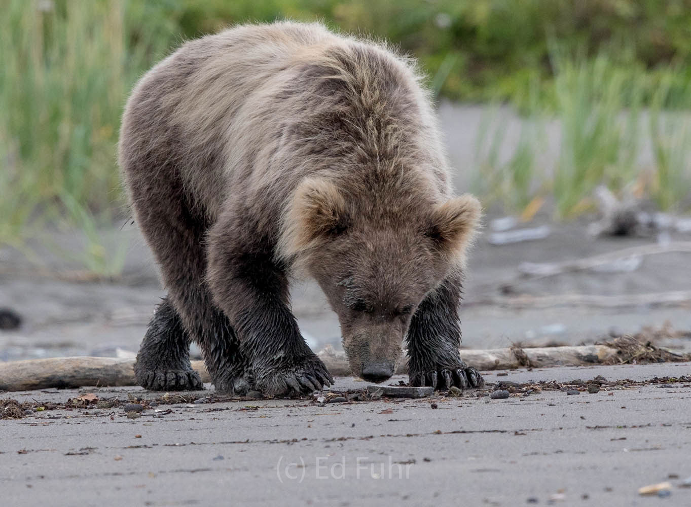 brown bear, salmon, lake clark, alaska, photo