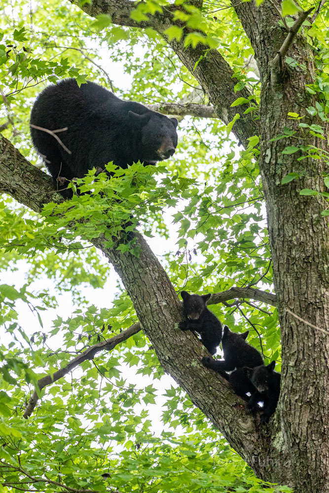 A mother black bear escorts her three young baby cubs down from this tall oak tree when they have spent the night sleeping.