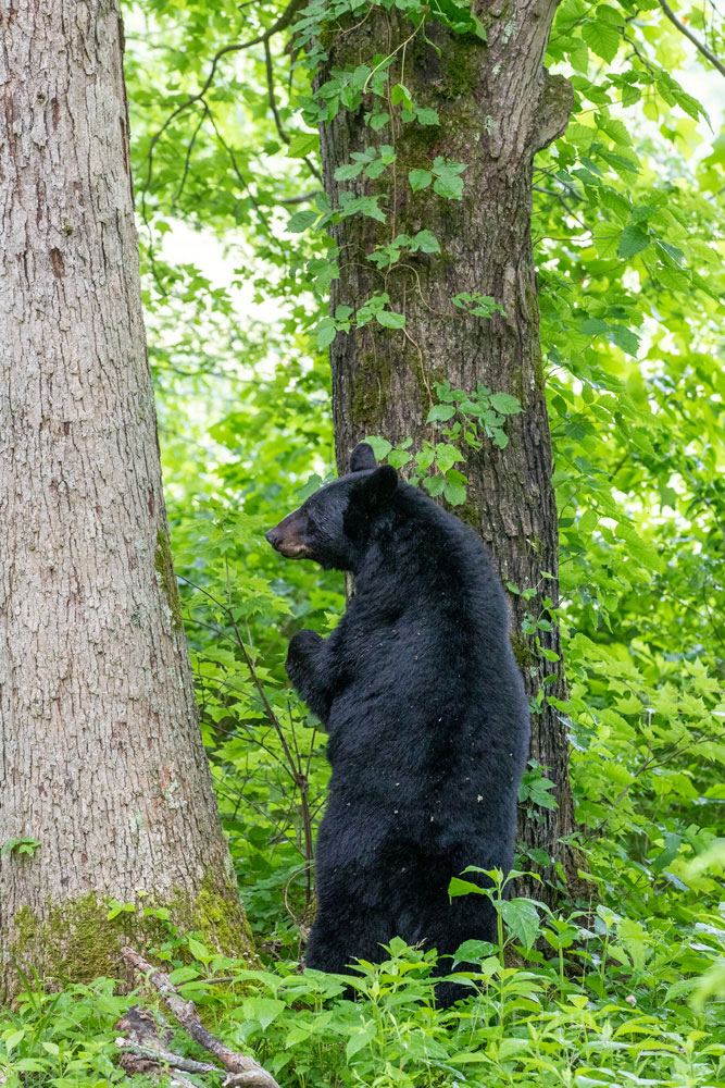 A sow black bear waits at the tree's base as her cubs slowly make their way down.