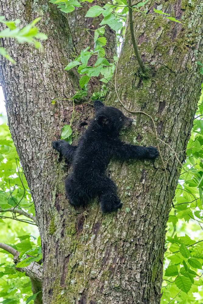 A young cub seems plastered to this tree trunk, as he uses his sharp nails for a secure grip as he its slowly backs down this...