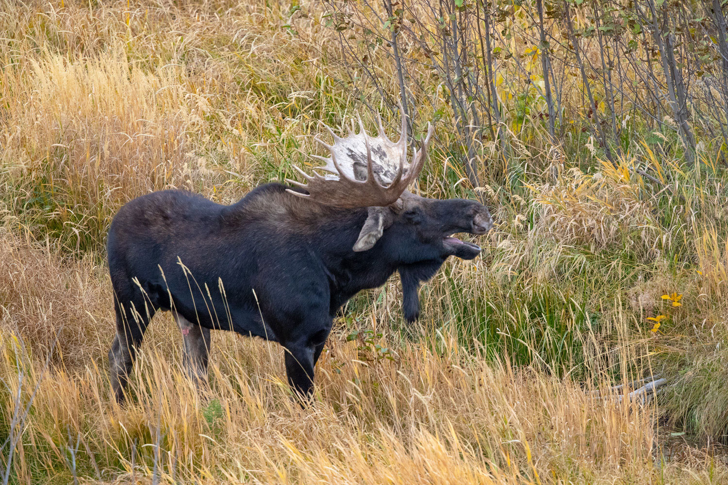 A bull moose calls for a cow moose on the other side of a nearby pond.