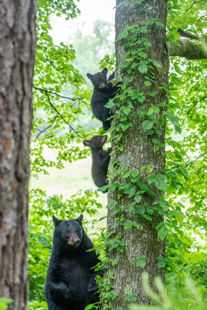 Like a scene from a movie, this large black bear stands watch with her cubs nearby.