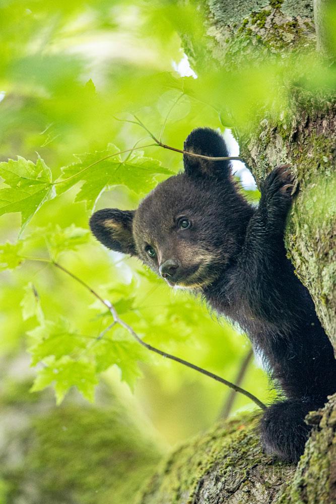 black bear, cub, tree, photo