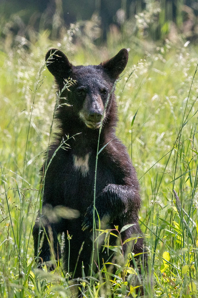 A bear cub with a bright blaze on her chest stands in a grassy meadow in search of mom.