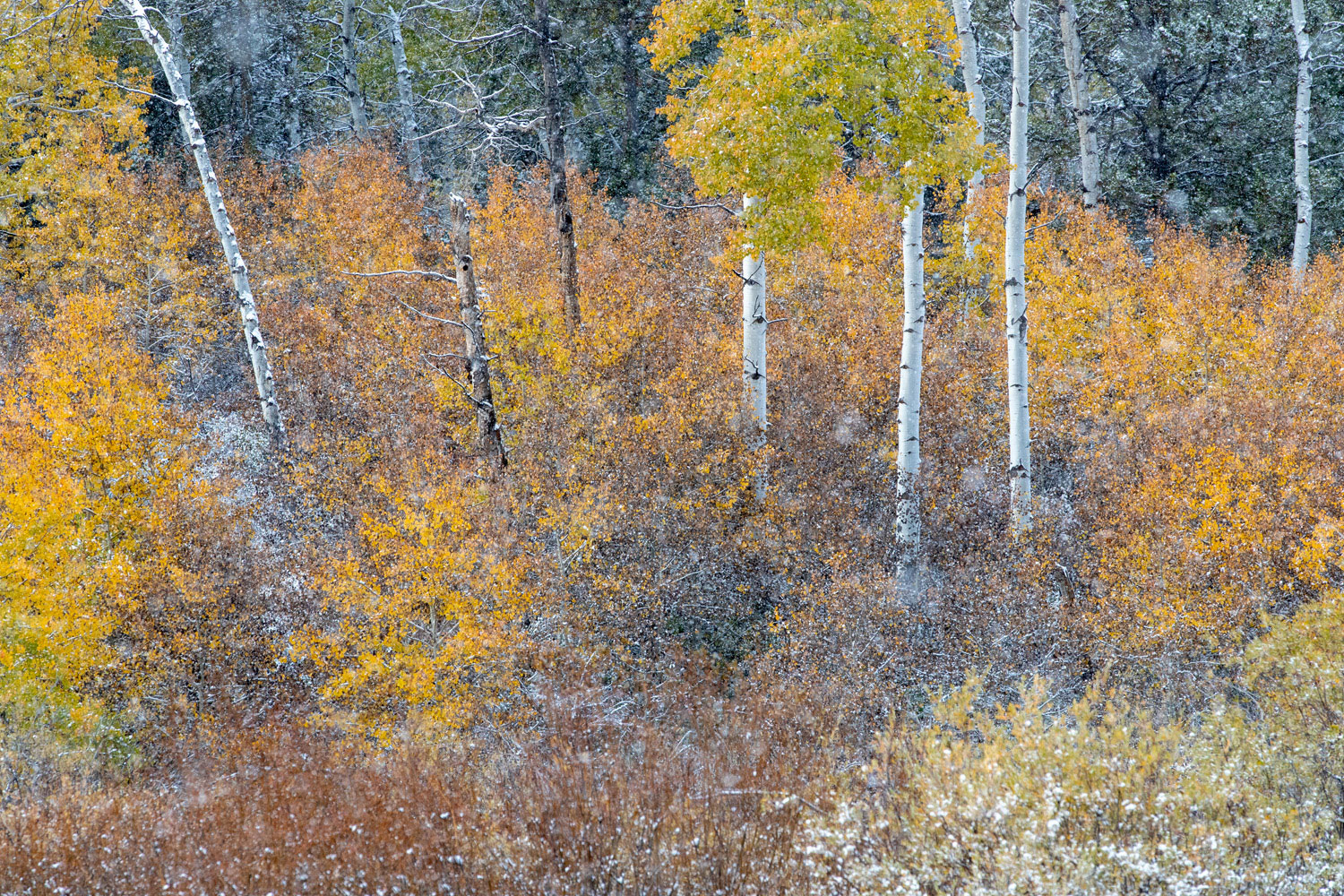 A dusting of snow provides a final piece of jewelry to the golden aspen and cottonwoods.