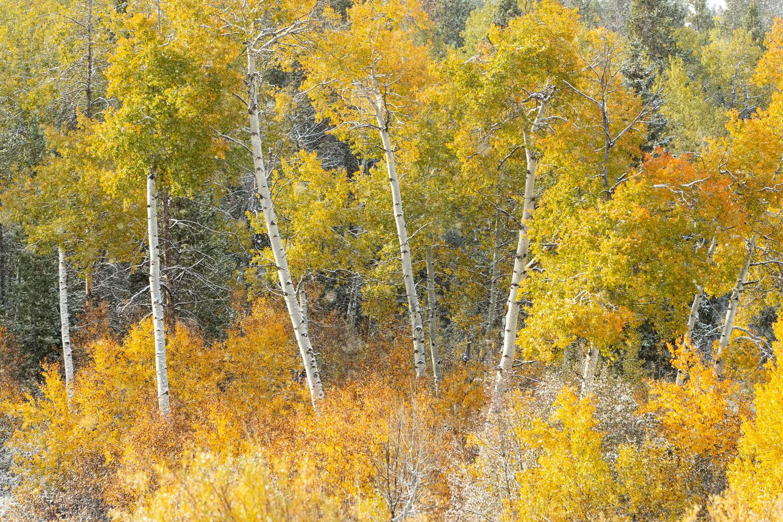 trees, autumn, snow, foliage, aspen, Tetons, Grand Teton, photo