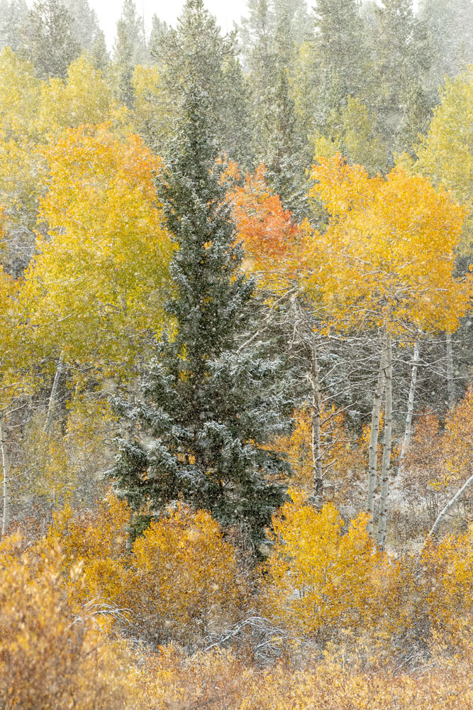 aspen, pine, foliage, autumn, snow, Tetons, Grand Teton, photo