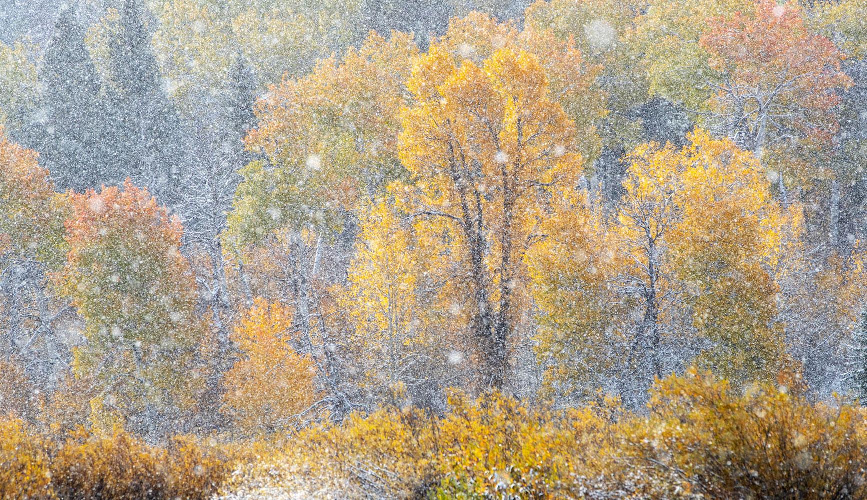 trees, snow, autumn, foliage, Tetons, Grand Teton, photo