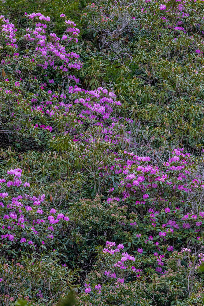 Rhododenrons and Laurels atop the a high ridge in the Great Smoky Mountains.