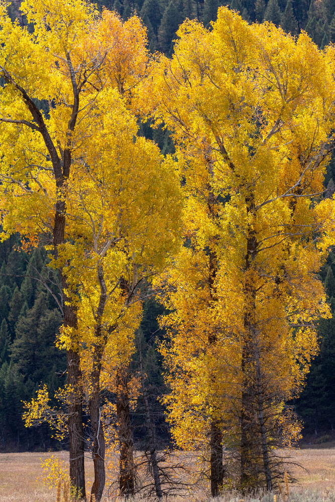 Cottonwoods glow a brilliant gold, accented by the backlight of the fading sun.